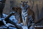 Amur Tiger, Siberian Tiger (Panthera tigris altaica)